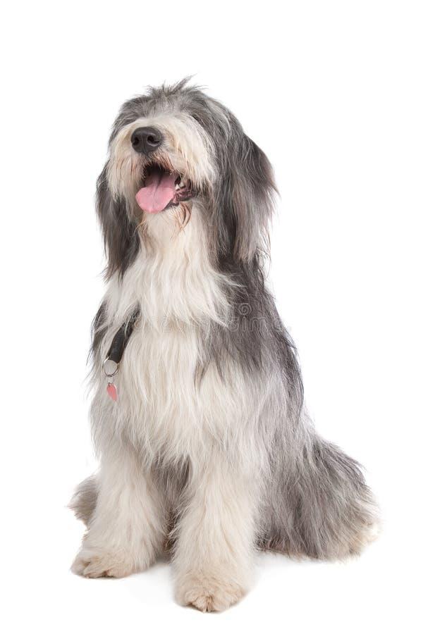 有胡子的大牧羊犬 免版税图库摄影