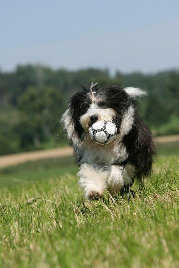 有胡子的大牧羊犬 库存图片