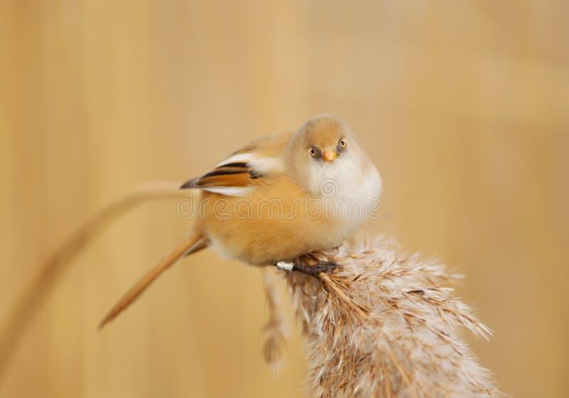 有胡子的山雀在芦苇床,英国上 库存图片