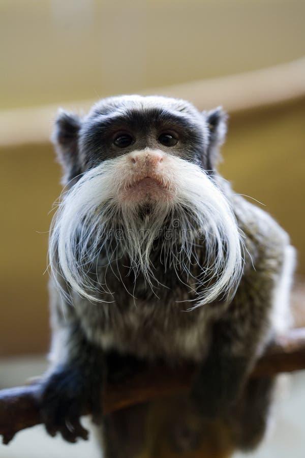 有胡子的滑稽的猴子 库存图片