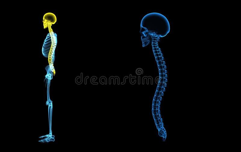 有脊柱的头骨 向量例证