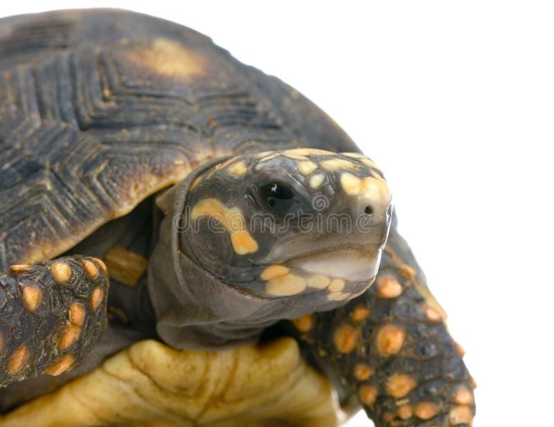 有脚的红色草龟 库存照片