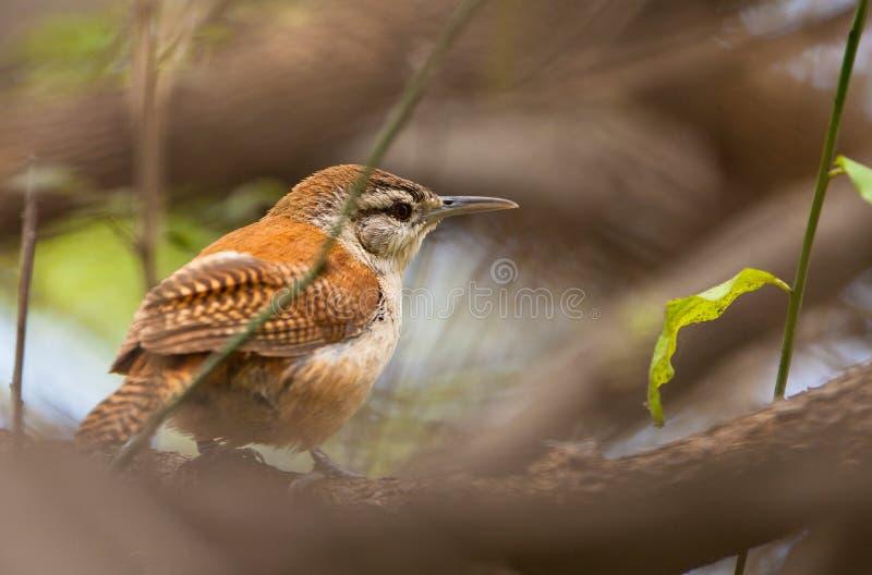 有腿鸟接近的hornero变苍白 图库摄影