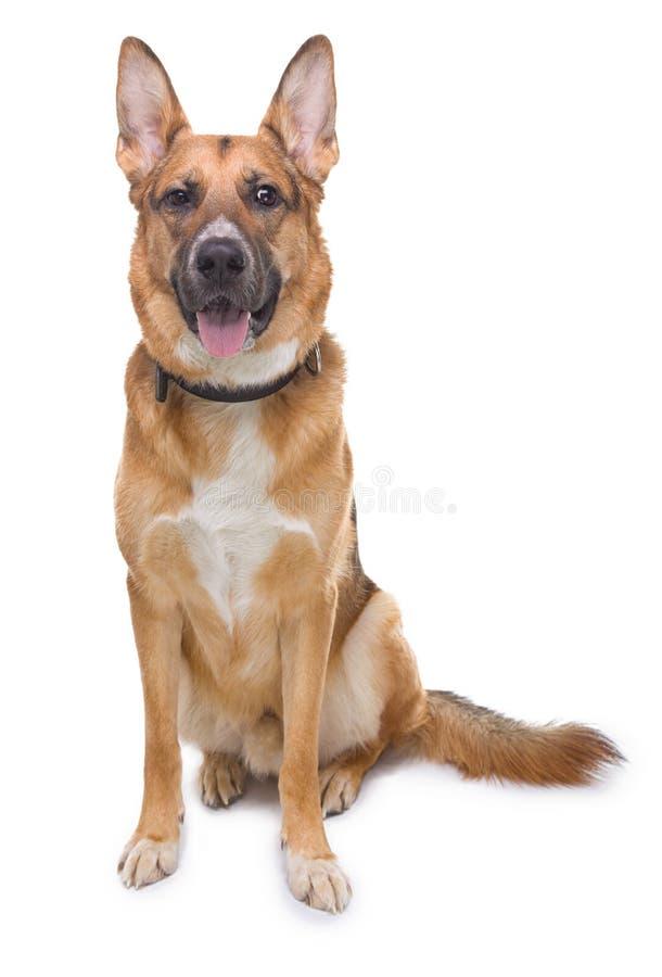 有舌头的困惑的德国牧羊犬 免版税库存照片