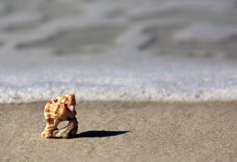 有节的峨螺壳 免版税库存图片