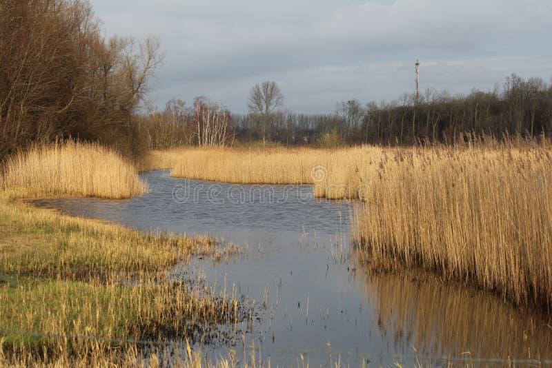 有芦苇植物的美丽的宽水路边缘的在冬天 库存照片
