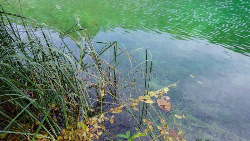 有芦苇的清楚的绿色湖, Plitvice,克罗地亚 库存图片