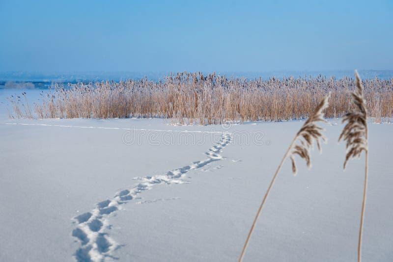 有芦苇的冻湖 免版税库存图片