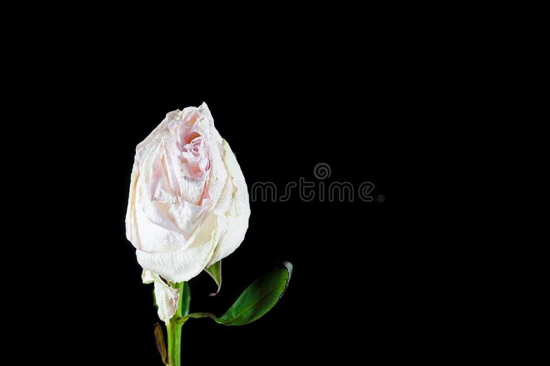 有芬芳花的美丽的植物如室内 免版税库存照片