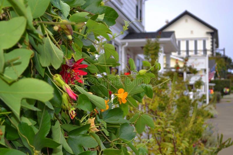 有花的常春藤厂在Mendocino,加利福尼亚 图库摄影