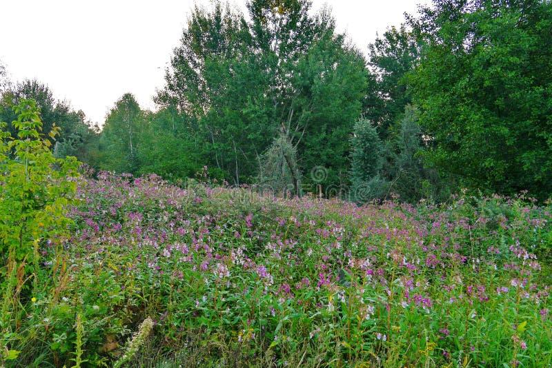 有花的沼地在灌木和树丛林  美丽如画的自然和沈默远离城市 库存照片