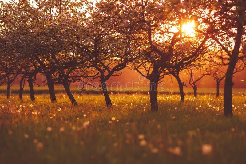 有花的苹果计算机庭院在春天在日落的 库存照片