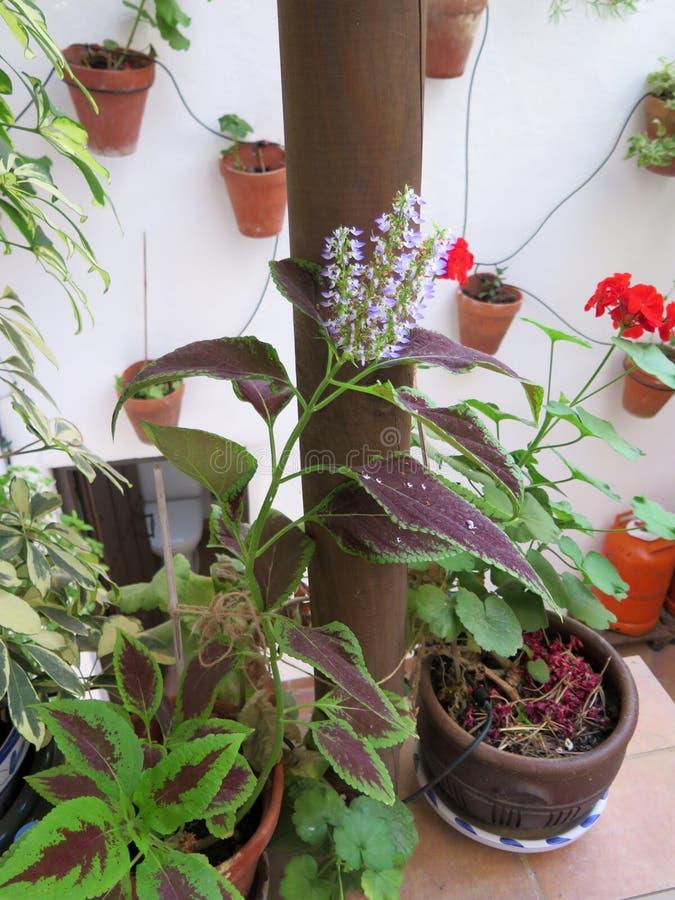 有花的锦紫苏植物在步的罐 免版税库存照片
