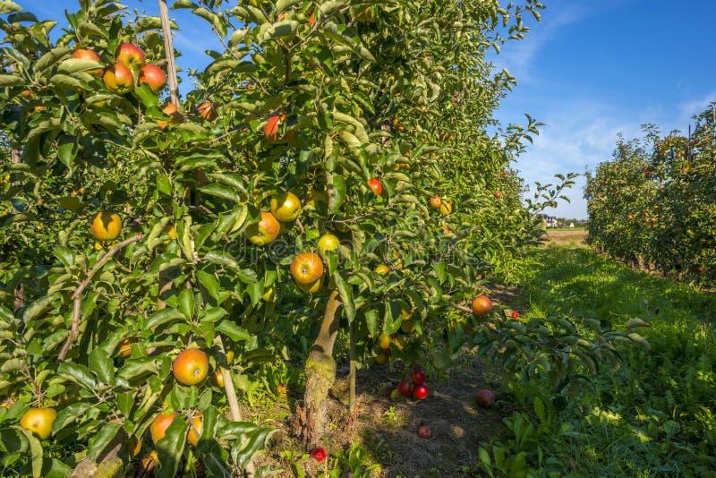 有苹果树的果树园在领域 库存图片