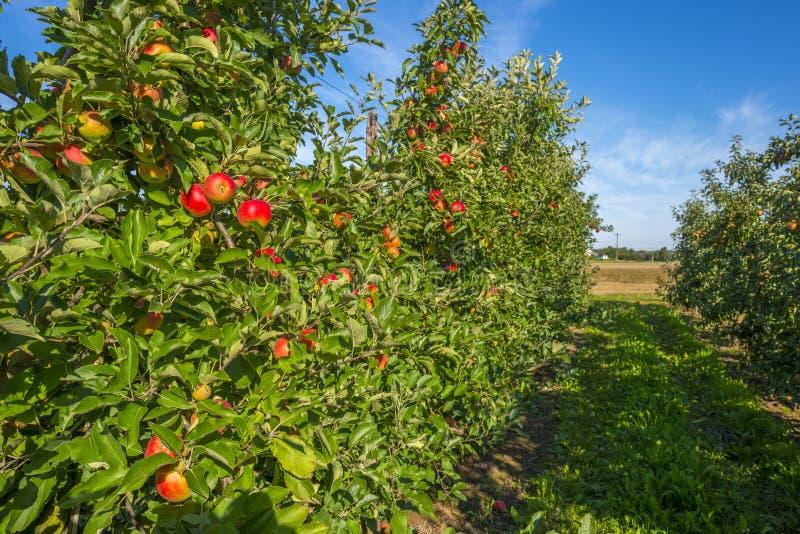有苹果树的果树园在领域 免版税库存图片