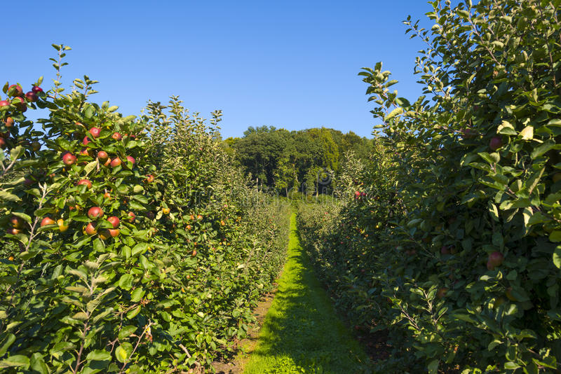 有苹果树的果树园在领域 免版税图库摄影