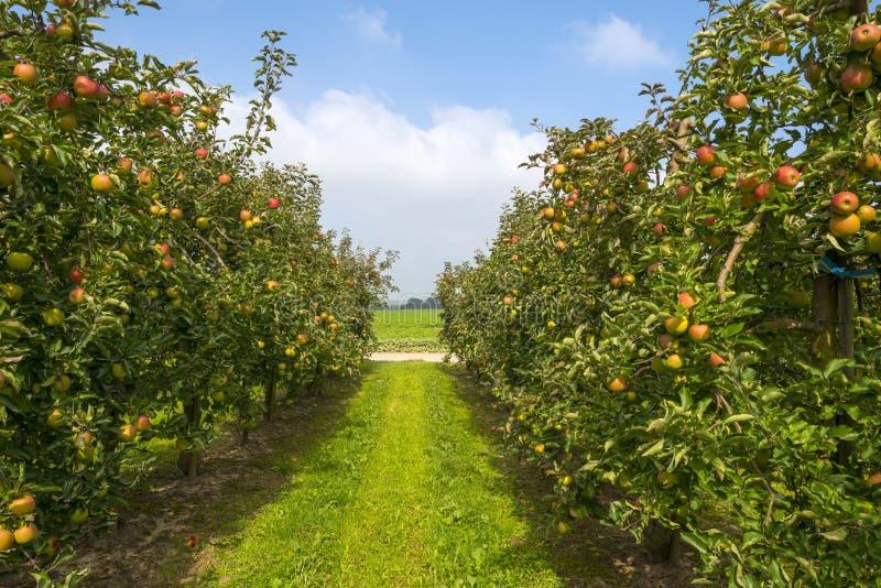 有苹果树的果树园在领域 图库摄影