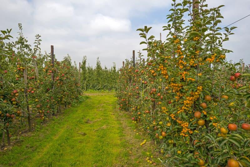 有苹果树的果树园在领域 免版税库存照片