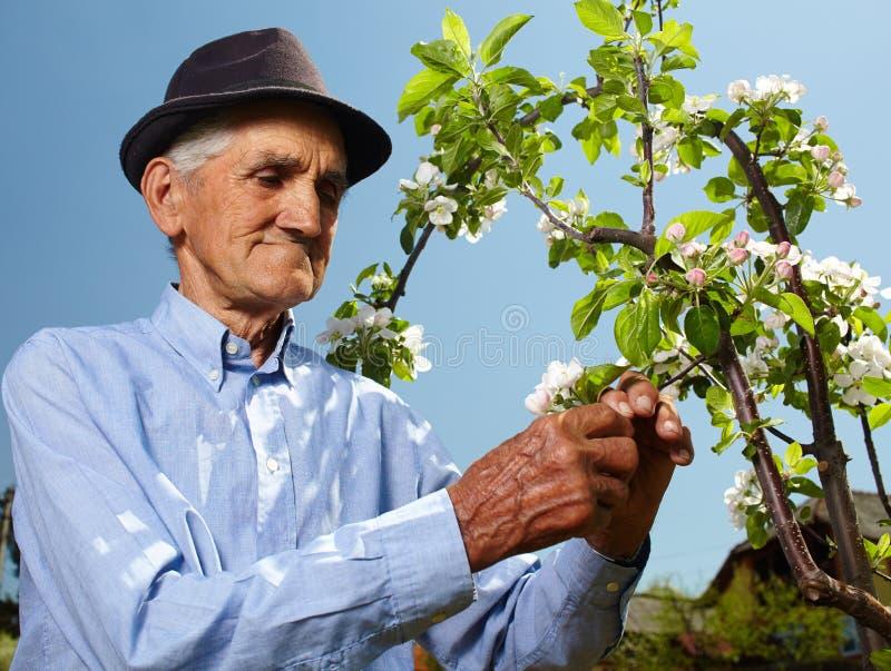 有苹果树的资深农夫 图库摄影