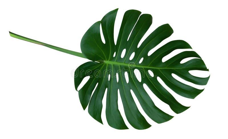 有茎的,在白色背景隔绝的热带常青藤绿色monstera植物叶子,裁减路线 免版税库存图片