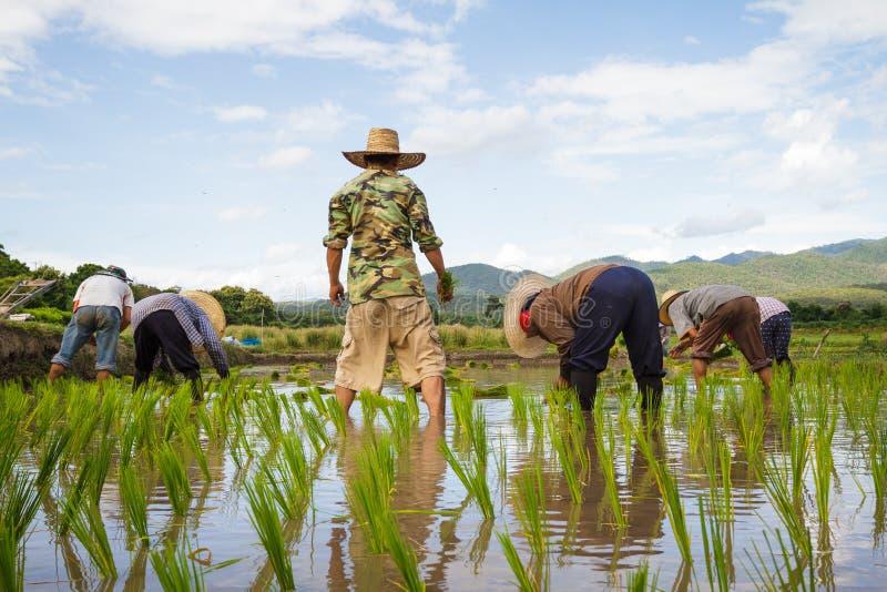 草帽农夫_有草帽移植的米幼木的农夫在稻田. 美丽如画, 移植.
