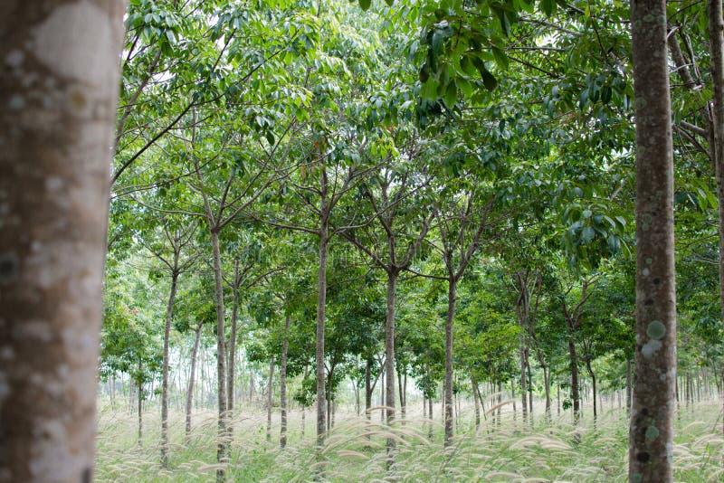 有草的橡胶园,三叶胶庭院在泰国 图库摄影