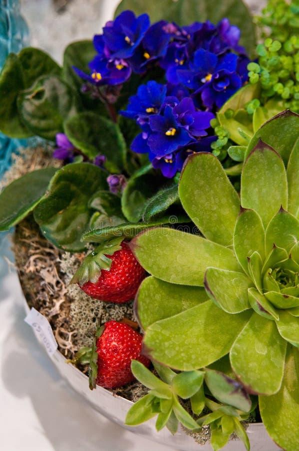有草莓构成的盆的植物 库存照片