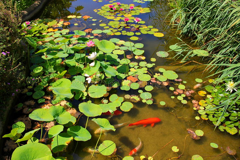 有荷花和睡莲叶的一个池塘 库存图片