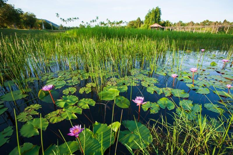 有荷花的豪华的池塘在绽放在清早、美好的日出发光在水表面的和热带植物中 库存图片