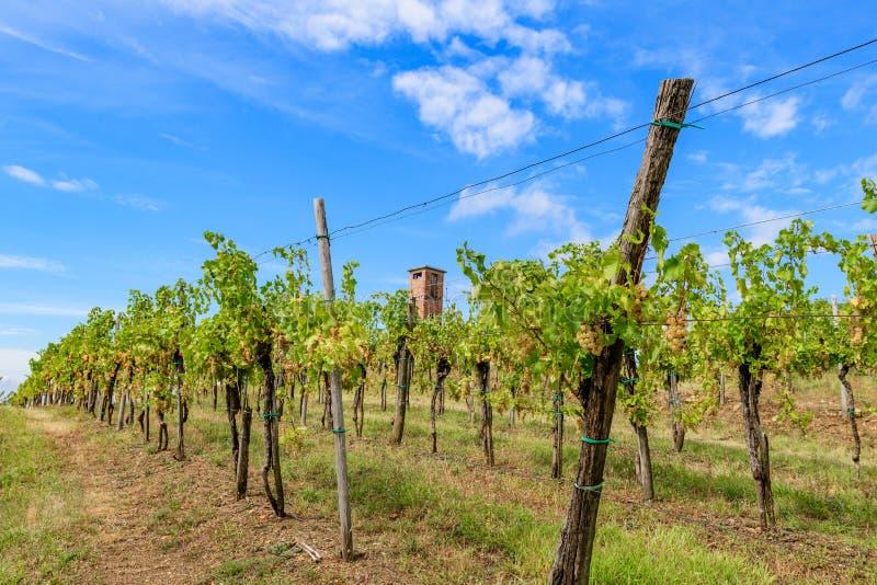 有葡萄树行的葡萄园在Gorska Brda,斯洛文尼亚,老军事在背景中观看塔 库存图片