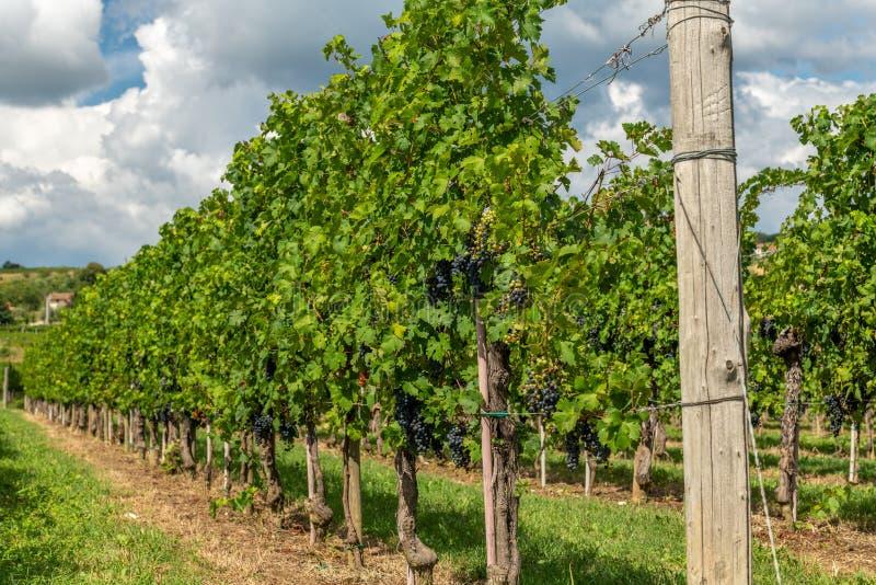 有葡萄树行的葡萄园在Gorska Brda,斯洛文尼亚 库存图片