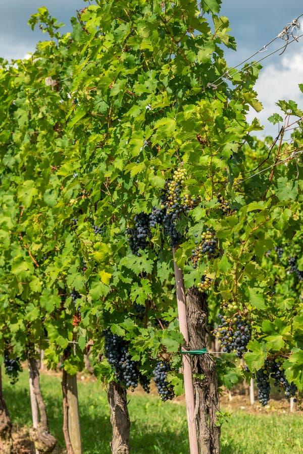 有葡萄树行的葡萄园在Gorska Brda,斯洛文尼亚 库存照片