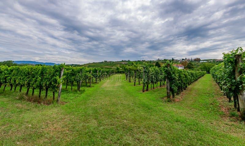 有葡萄树行的葡萄园在Gorska Brda,斯洛文尼亚 免版税库存图片