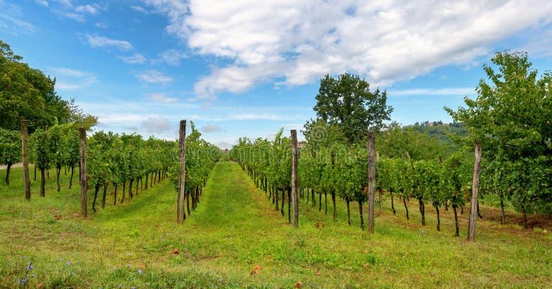 有葡萄树行的葡萄园在Gorska Brda,斯洛文尼亚 图库摄影