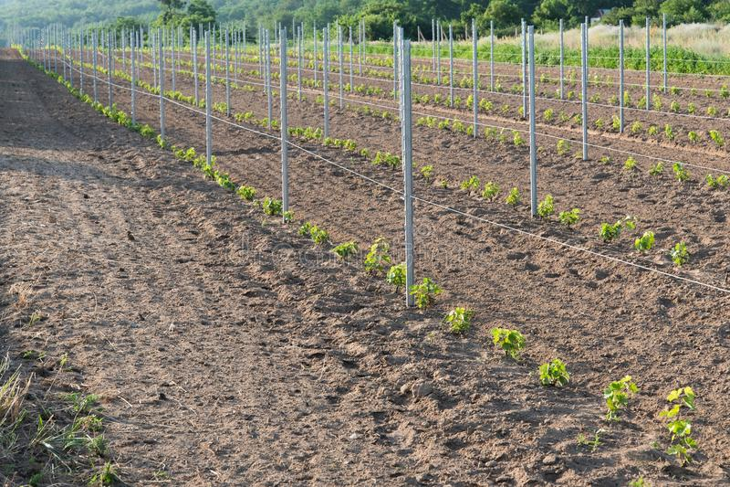 有葡萄树年幼植物的新的葡萄园  图库摄影