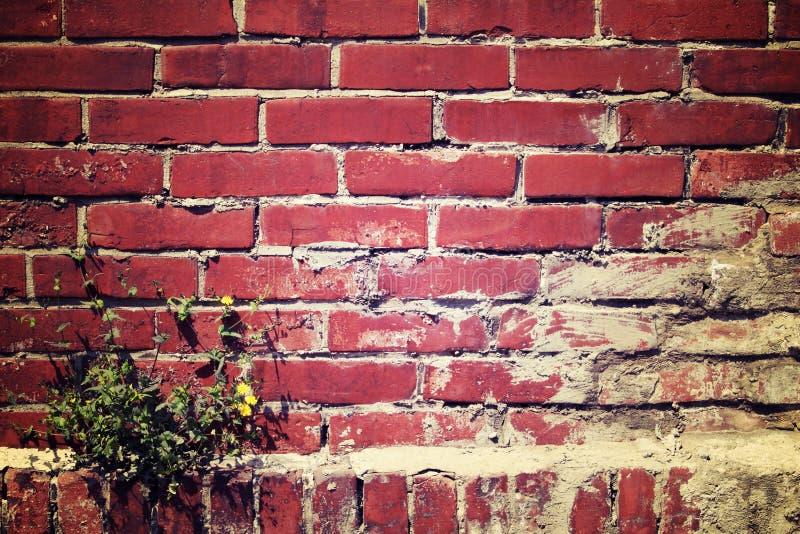 有蒲公英植物的红褐色的砖墙在角落, v长大 免版税库存图片