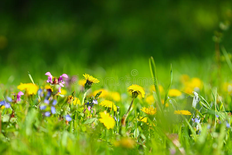 有蒲公英花的晴朗的草甸 库存照片