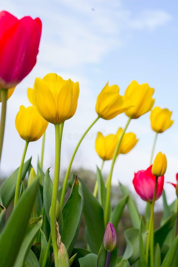 Download 有蓝天的郁金香庭院 库存图片. 图片 包括有 春天, 黄色, 郁金香, 从事园艺, 工厂, 天空, 五颜六色 - 72365703