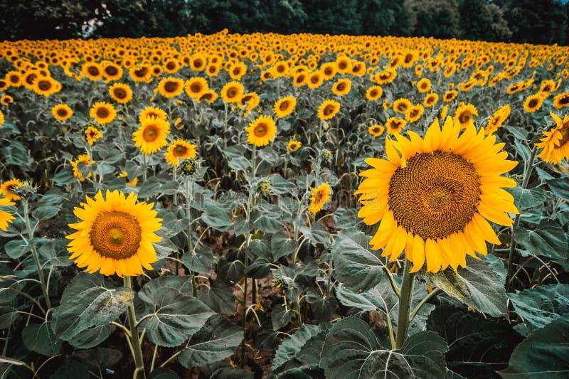 有蓝天的黄色向日葵植物 库存照片