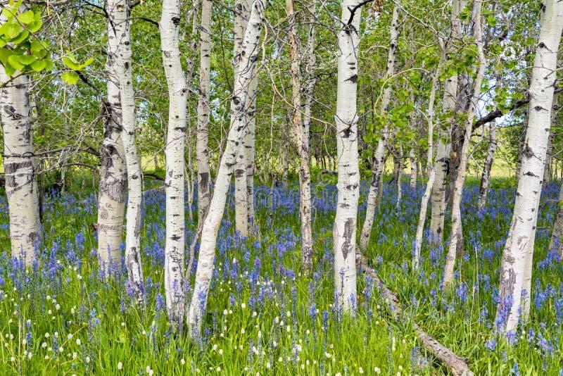 有蓝色野花的亚斯本森林 免版税库存照片
