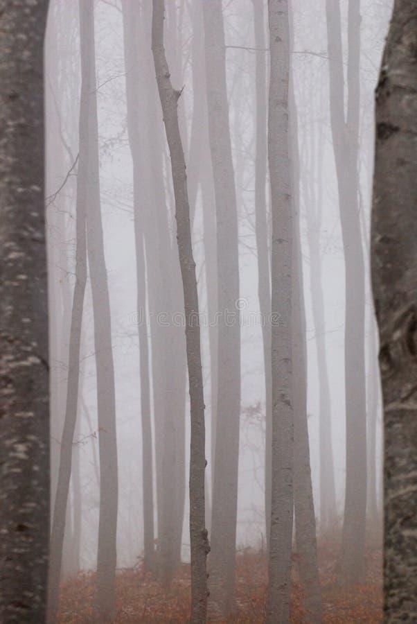 有薄雾山毛榉的森林 免版税库存照片