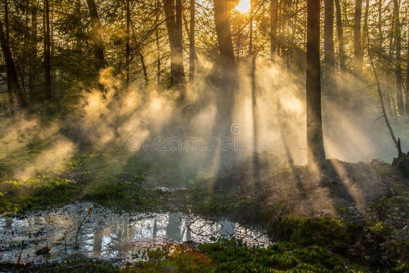 有薄雾的日出早晨在森林里 库存照片