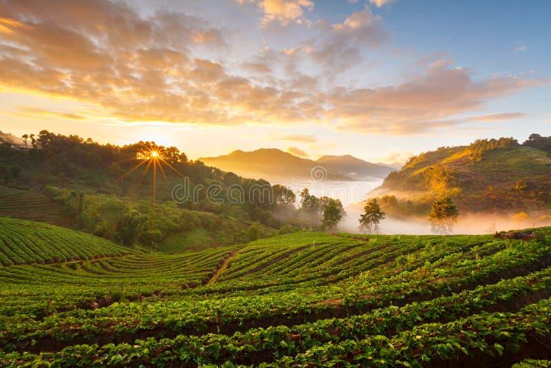 有薄雾的早晨日出在土井Angk吊moun的草莓庭院里 免版税库存照片