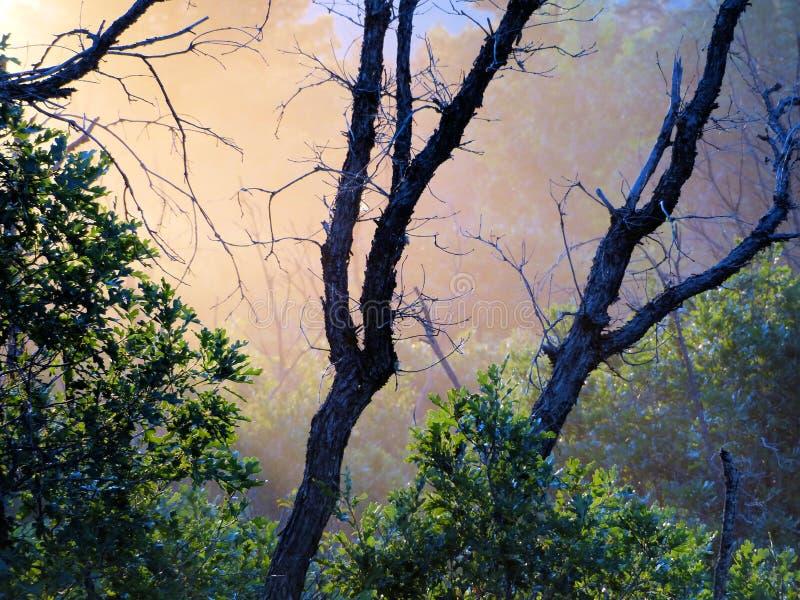 有薄雾的早晨胭脂栎森林 库存照片