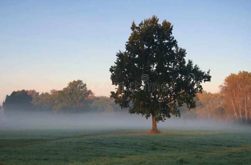 有薄雾的橡木 库存照片