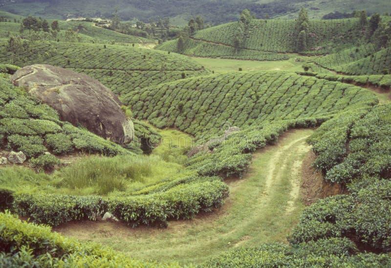 有薄雾的河南町德万小山Munnar的喀拉拉印度滚动的茶园 库存图片