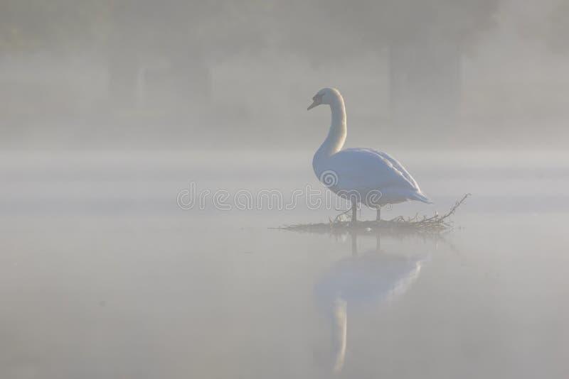 有薄雾的疣鼻天鹅