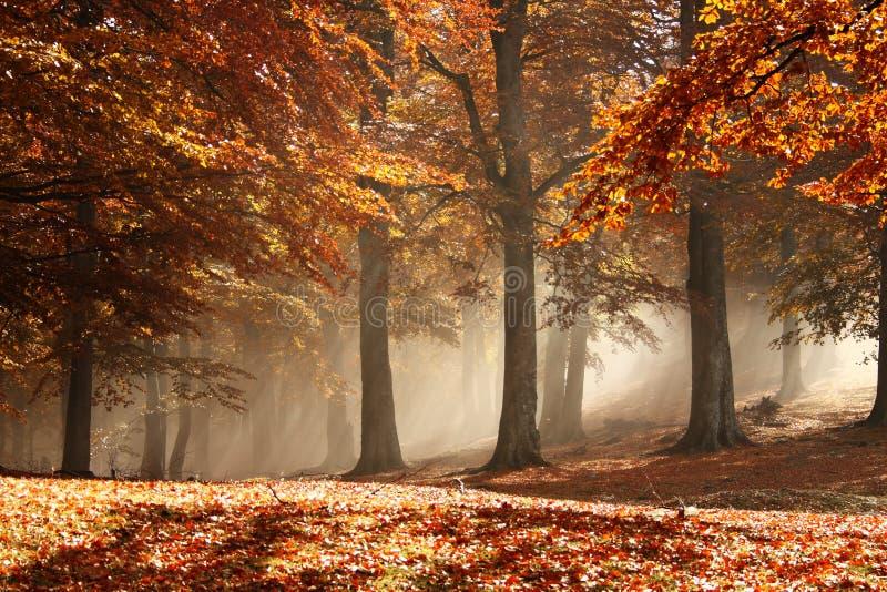 有薄雾的秋天森林 免版税库存图片