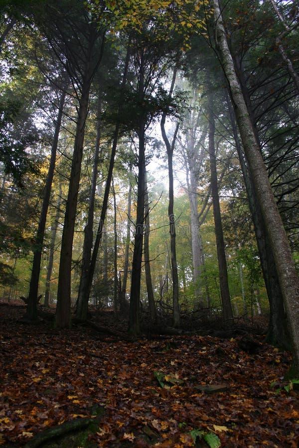 有薄雾的结构树 免版税库存图片