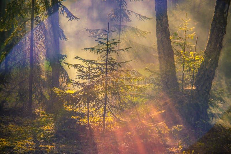 有薄雾的黎明在森林里 免版税图库摄影